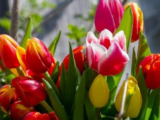 HOLLAND AT TULIPTIME, PLUS  MICHIGAN'S LIGHTHOUSES AND GARDENS